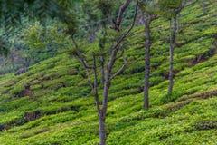 Vista larga de plantações verdes da árvore com árvores in-between, Ooty, Índia, o 19 de agosto de 2016 fotografia de stock royalty free