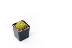 Vista lateral aislada del cactus del círculo en el pote del árbol del cubo Fotos de archivo libres de regalías