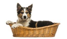 Vista lateral de border collie que encontra-se em uma cesta de vime, isolada Imagem de Stock Royalty Free