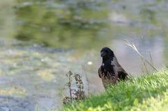 Vista lateral de Carrion Crow, corone del Corvus, foto de archivo libre de regalías