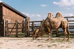 a vista lateral de dois humped o camelo que come a grama na cerca fotografia de stock