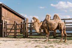 a vista lateral de dois humped o camelo que está na cerca sob a luz solar fotografia de stock royalty free