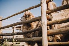 a vista lateral de dois humped o camelo que está perto da cerca de madeira na cerca fotografia de stock royalty free