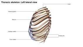 Vista lateral de esqueleto torácica ilustração do vetor