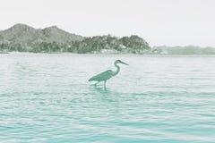 Vista lateral de Grey Heron Wading en agua foto de archivo libre de regalías