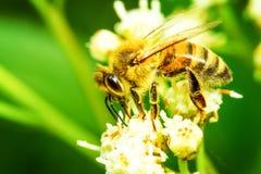 Vista lateral de la abeja de la máquina segador Fotos de archivo libres de regalías