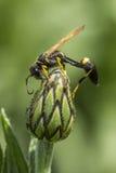 Vista lateral de la avispa en la flor Imagenes de archivo