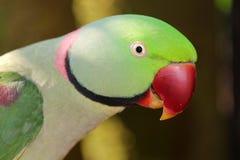 Vista lateral de la cabeza del loro del alejandrino foto de archivo libre de regalías