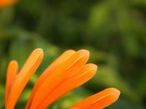 Vista lateral de la floración anaranjada de las flores de trompeta imagenes de archivo