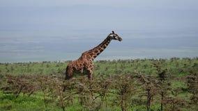 Vista lateral de la jirafa que se coloca en una colina entre arbustos con las espinas en africano salvaje almacen de video