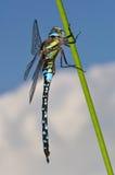 Vista lateral de la libélula migratoria del vendedor ambulante Foto de archivo libre de regalías