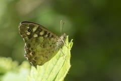 Vista lateral de la mariposa del aegeria de madera manchado de Pararge Fotografía de archivo libre de regalías