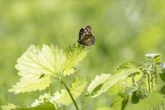 Vista lateral de la mariposa del aegeria de madera manchado de Pararge Imagen de archivo