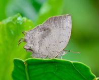 Vista lateral de la mariposa gris clara que se coloca en la hoja verde Foto de archivo