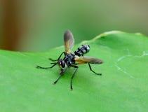 Vista lateral de la mosca de ladrón (asilidae) que se coloca en la hoja verde Fotos de archivo