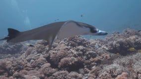 Vista lateral de la nadada del rayo de manta del filón en el arrecife de coral almacen de metraje de vídeo