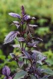 Vista lateral de la planta púrpura de la albahaca imagenes de archivo