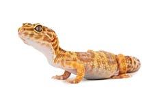 Vista lateral de la salamandra del leopardo imagen de archivo