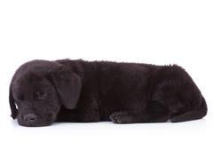 Ideia lateral de um sono preto bonito de labrador retriever Imagem de Stock Royalty Free
