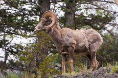 Vista lateral de las ovejas de carnero con grandes cuernos Fotos de archivo libres de regalías