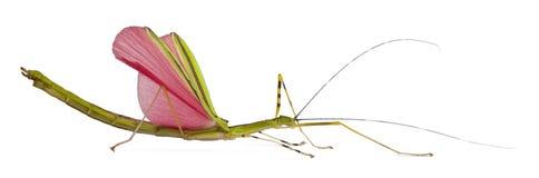 Vista lateral de Phasma, insecto de palillo, colocándose imagen de archivo libre de regalías