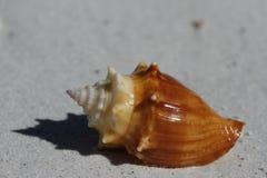 A vista lateral de um búzio de combate de Florida, alatus do Strombus, encontrou em uma praia Fotografia de Stock Royalty Free