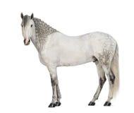 Vista lateral de un andaluz masculino, 7 años, también conocidos como el caballo español puro o PRE, con la melena trenzada y la m Imagen de archivo libre de regalías