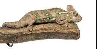 Vista lateral de un camaleón velado que miente en una rama Fotos de archivo libres de regalías