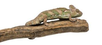 Vista lateral de un camaleón velado que se coloca en una rama Imagen de archivo libre de regalías