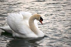 Vista lateral de un cisne Foto de archivo libre de regalías