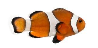 Vista lateral de un clownfish de Ocellaris, ocellaris del Amphiprion Imagenes de archivo
