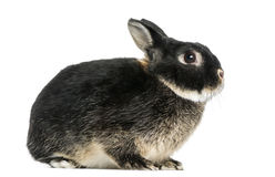 Vista lateral de un conejo enano, de 1 año, aislado Fotografía de archivo libre de regalías