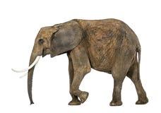 Vista lateral de un elefante africano Fotos de archivo