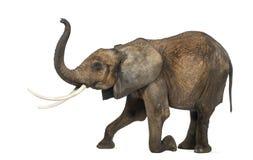 Vista lateral de un elefante africano, arrodillándose, realizándose Foto de archivo