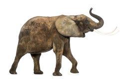 Vista lateral de un elefante africano que levanta su tronco, aislada Imágenes de archivo libres de regalías