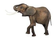 Vista lateral de un elefante africano que levanta su tronco y pierna Foto de archivo