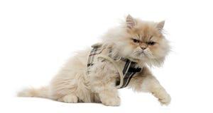 Vista lateral de un gatito persa con el arnés del tartán Imagenes de archivo