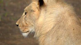 Vista lateral de un león metrajes
