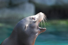 Vista lateral de un león marino con su boca abierta Imagen de archivo