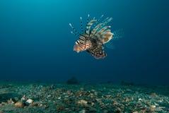 Vista lateral de un lionfish común (millas del Pterois) Foto de archivo