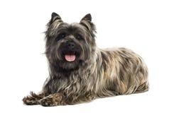 Vista lateral de un mojón Terrier que jadea, mirando la cámara Foto de archivo