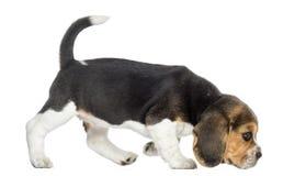 Vista lateral de un perrito del beagle que camina, oliendo el piso Fotografía de archivo