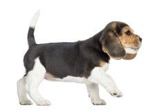 Vista lateral de un perrito del beagle que camina, pawing para arriba, aislado Fotografía de archivo