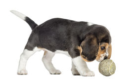 Vista lateral de un perrito del beagle que juega con una pelota de tenis, aislada Imagen de archivo