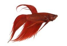 Vista lateral de un pescado que lucha siamés, splendens de Betta Imagenes de archivo