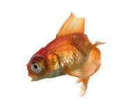 Vista lateral de un pez de colores en agua, islolated en blanco Foto de archivo libre de regalías