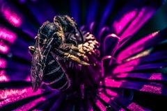 Vista lateral de una abeja en la floración púrpura Fotografía de archivo