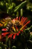 Vista lateral de una abeja en la floración roja y amarilla Fotos de archivo