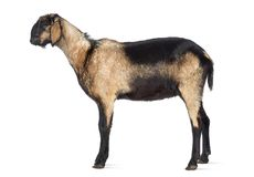 Vista lateral de una cabra anglo-Nubian con un mandíbula torcido contra el fondo blanco fotos de archivo libres de regalías
