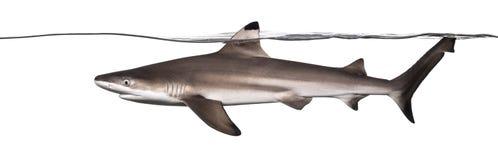 Vista lateral de una natación del tiburón del filón de Blacktip en la superficie Fotos de archivo
